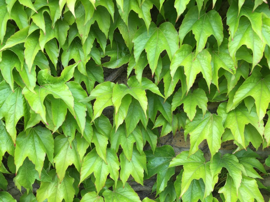 ivy vines on wall